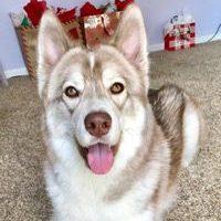 Meeko Siberian Husky